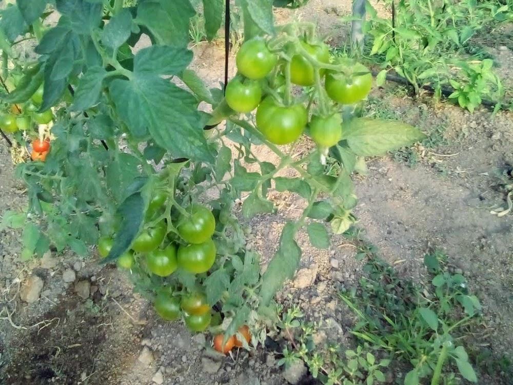 Mata de tomates de Huerta Clarita