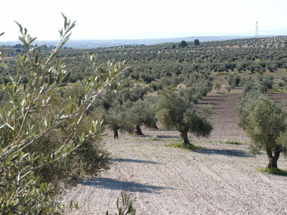 Panorámica olivar