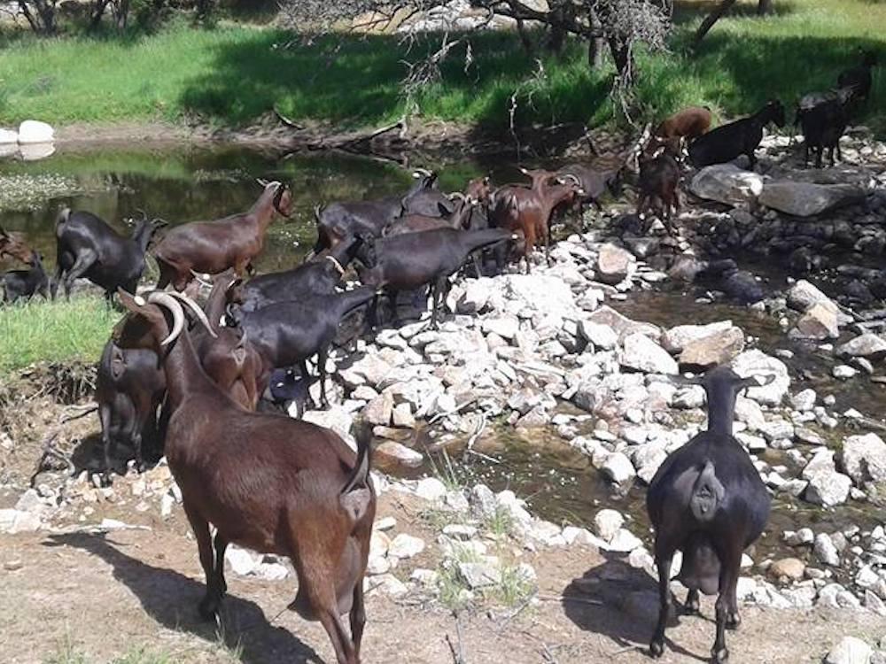 Rebaño de cabras de Suerte Ampanera