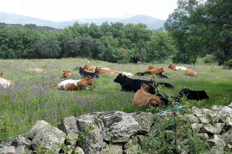 Vacas en prado