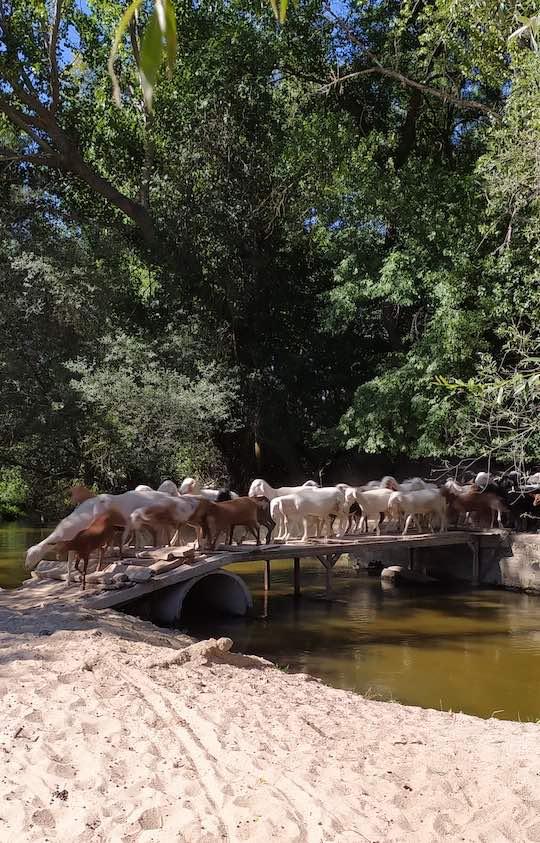Rebaño de ovejas y cabras