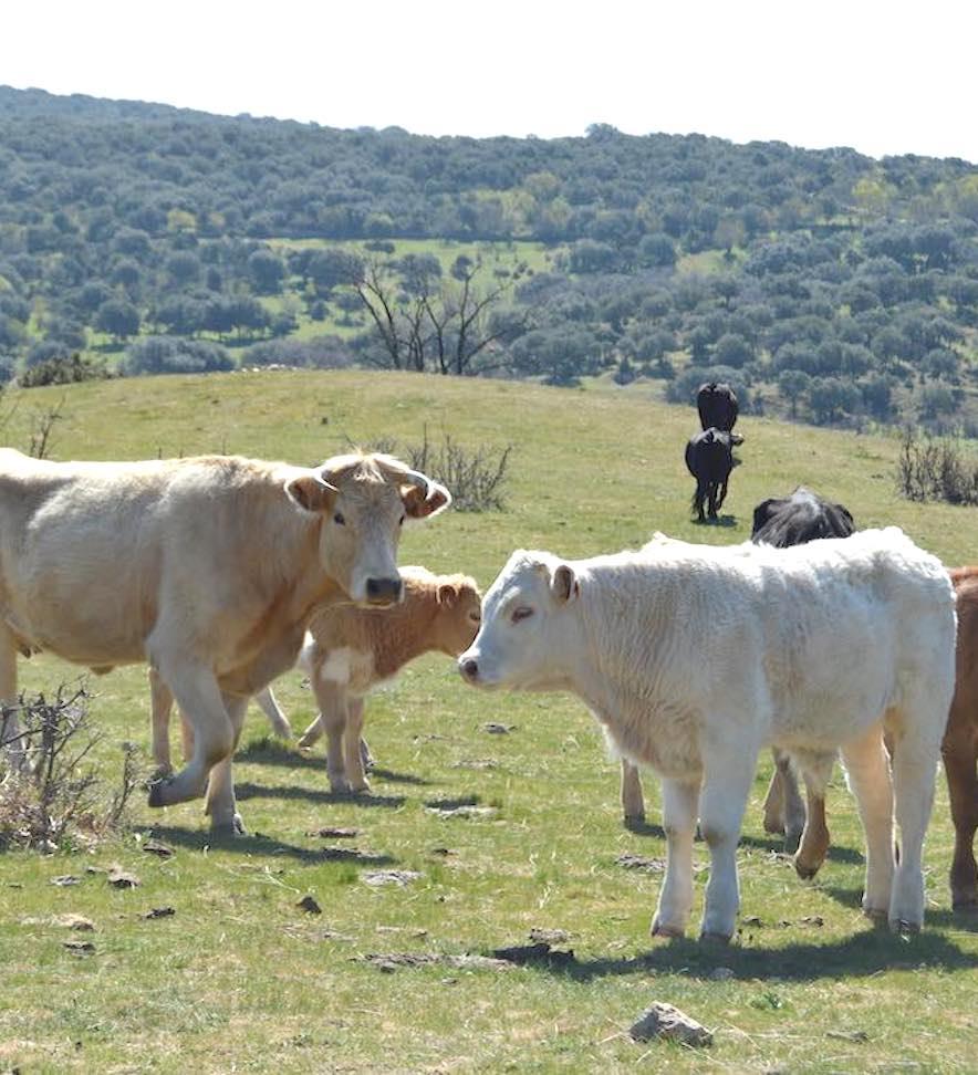 Ganadería extensiva en la Sierra de Guadarrama